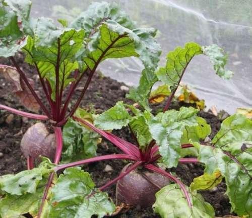 Выращивание свеклы на даче