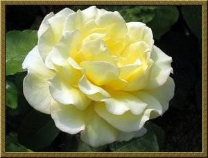 Сорта роз для срезки