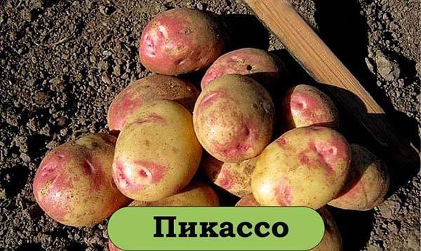 Картофель лучшие сорта для черноземья