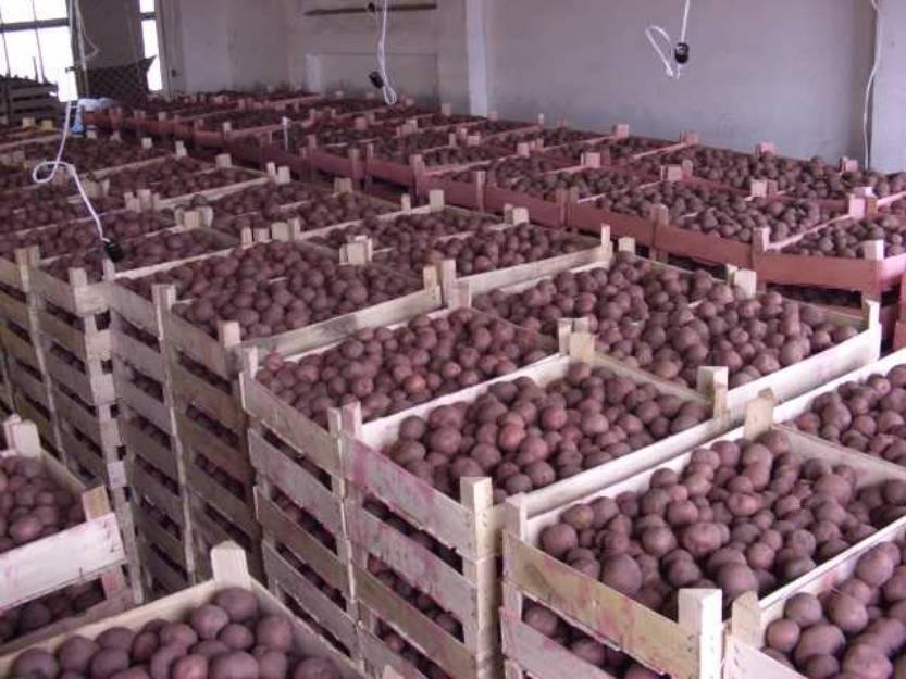 Сорт картофеля лапоть
