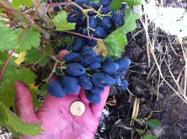 Виноград тюльпан описание сорта фото
