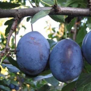 Самоплодные сорта сливы в украине