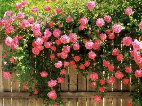 Как сажать семена роз