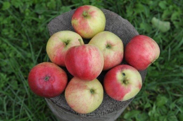 Сорт мелких яблок