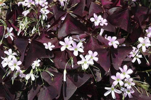 Фиолетовые комнатные цветы