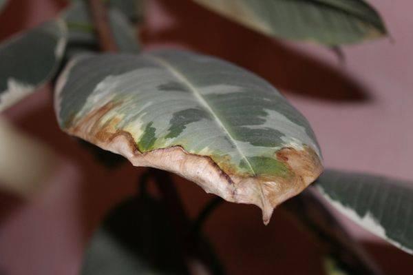 Болезни комнатных растений сухие кончики листьев