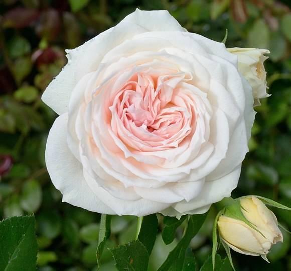 Нежно розовая роза