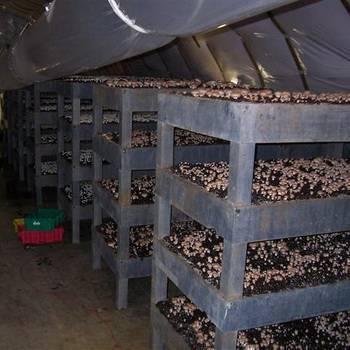 Выращивание шампиньонов в погребе
