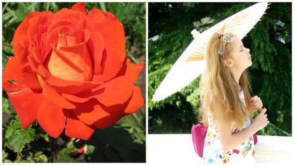 Розы кремового цвета фото