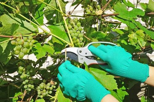 В каком месяце обрезают виноград