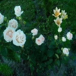 Сорта лилий для сибири фото и названия
