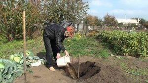 Как правильно сажать дерево