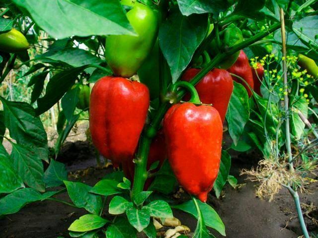 Урожайные сорта перцев для теплицы