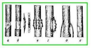 Виды прививок плодовых деревьев