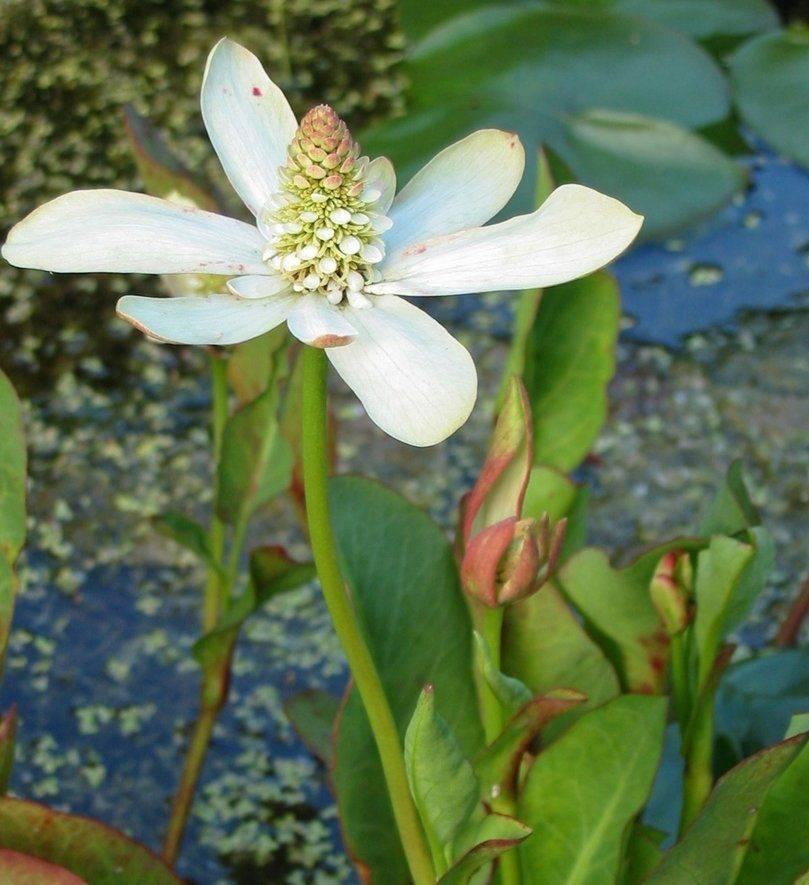 Растения пресного водоема фото и названия
