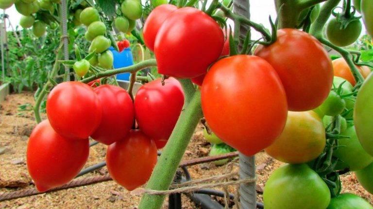 Самые урожайные томаты для теплиц
