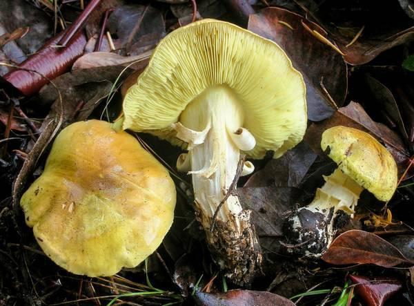 Соление грибов зеленок