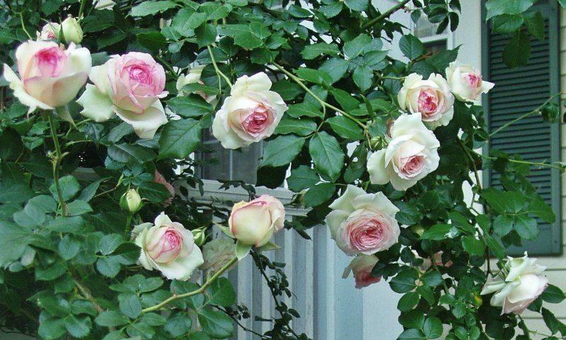 Пересадка плетистой розы осенью