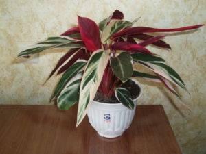 Растение с зелеными листьями и белыми прожилками