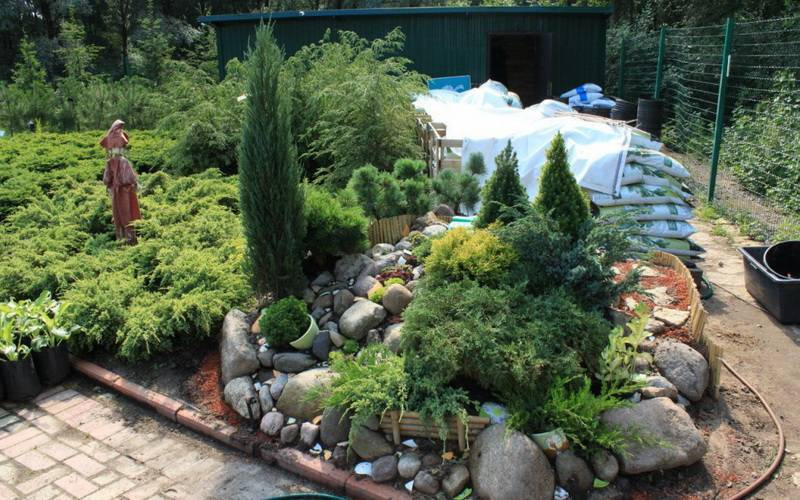 Карликовые хвойные растения для сада фото