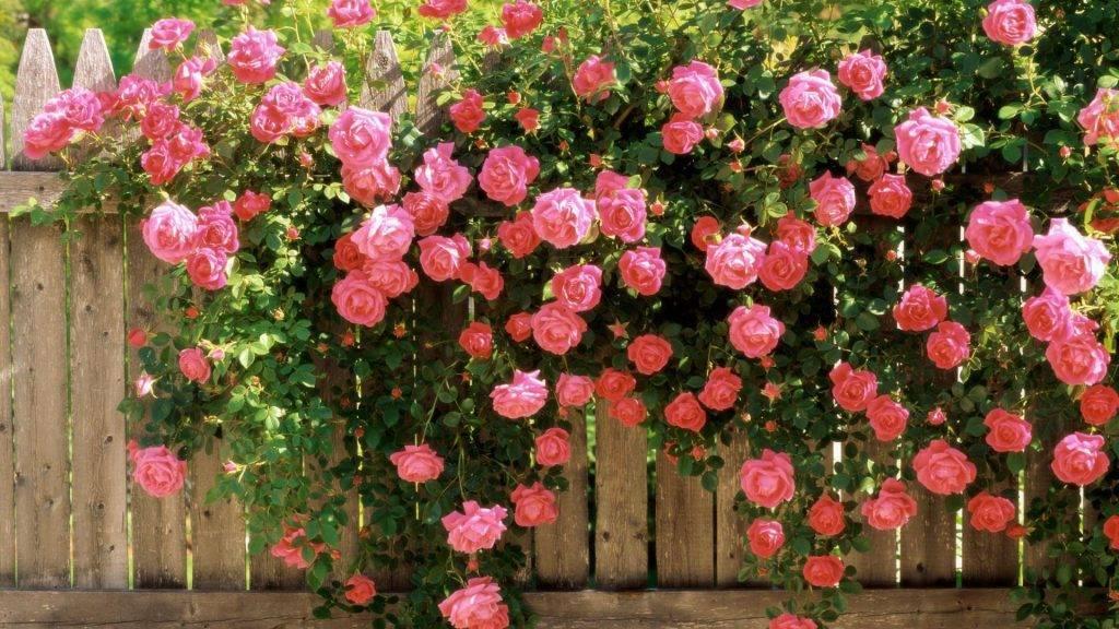 Как закрывать розы на зиму