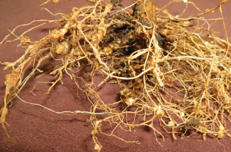 Как избавиться от нематоды в почве