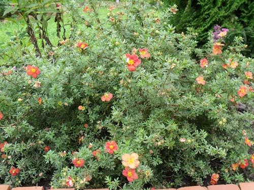 Лапчатка оранжевая фото