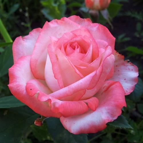 Роза блаш фото и описание