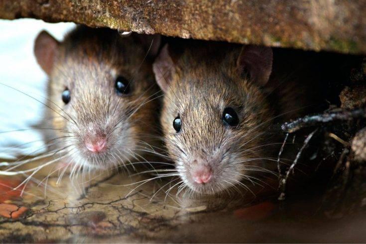 Как избавиться от мышей в своем доме