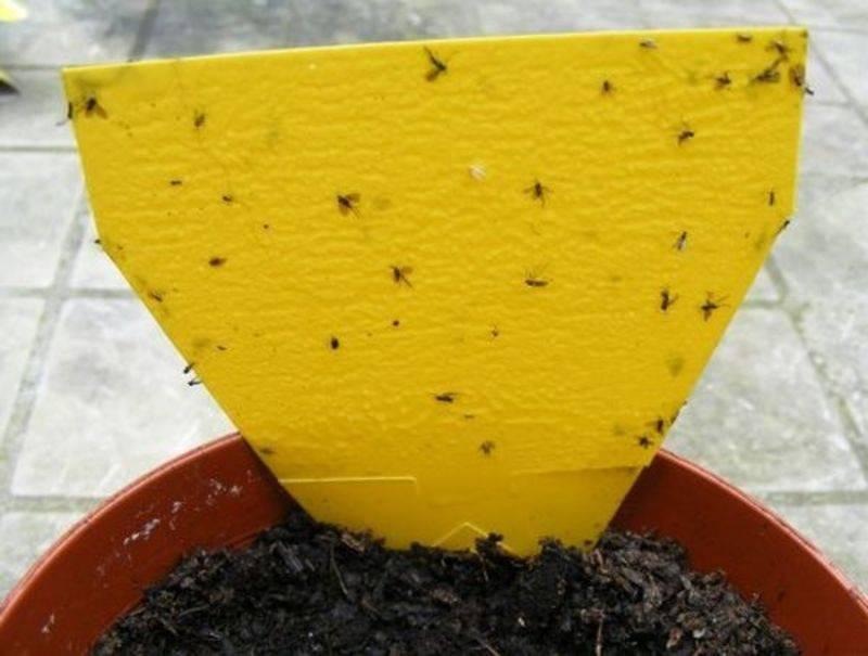 Луковая муха как бороться народными средствами