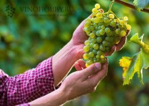 Вино из столовых сортов винограда
