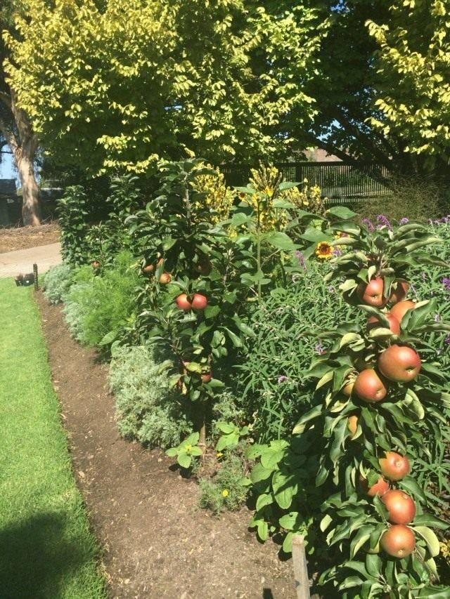 Конусовидные яблони