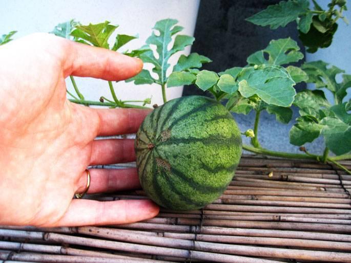 Вырастить арбуз на даче