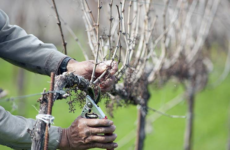 Как правильно производить обрезку винограда осенью