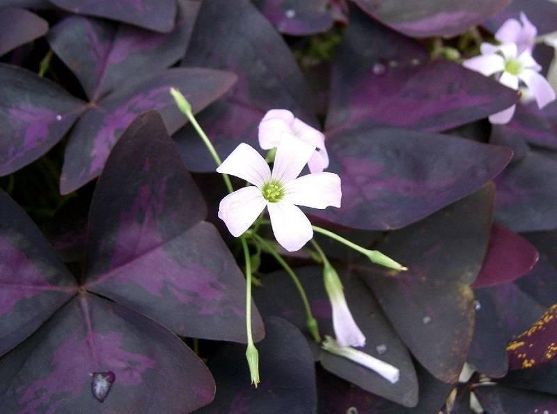 Цветок с фиолетово зелеными листьями