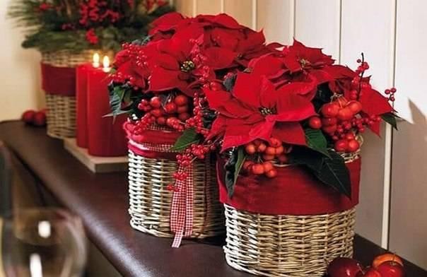 Рождественская звезда цветок в домашних условиях размножение