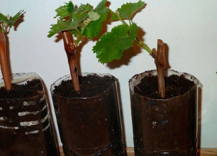Когда высаживать черенки винограда на рассаду