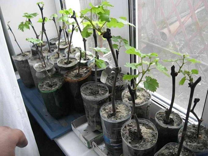 Как хранить саженцы деревьев до посадки