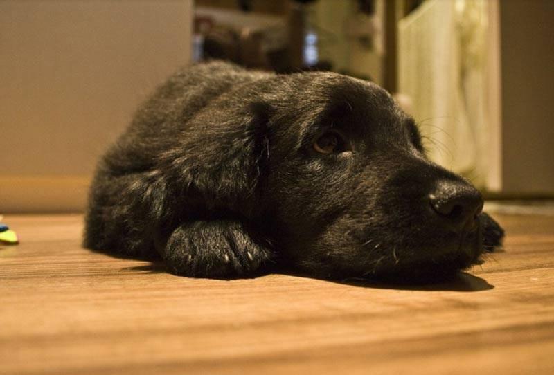 Собаки для домашнего содержания