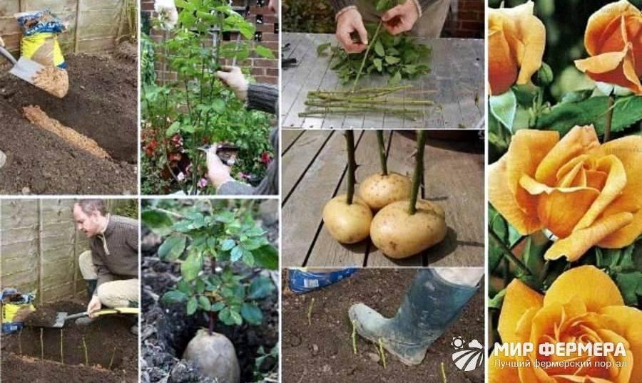 Как развести розы черенками осенью