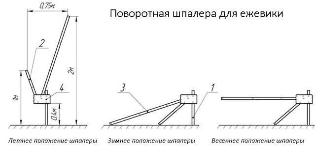 Как подвязать ежевику