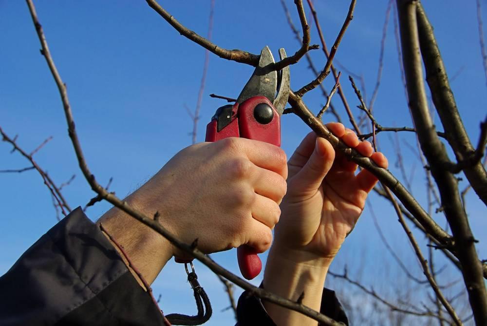 Как правильно произвести обрезку яблонь