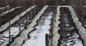 Как правильно закрыть виноград на зиму