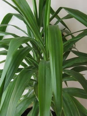 Растение с цветными листьями