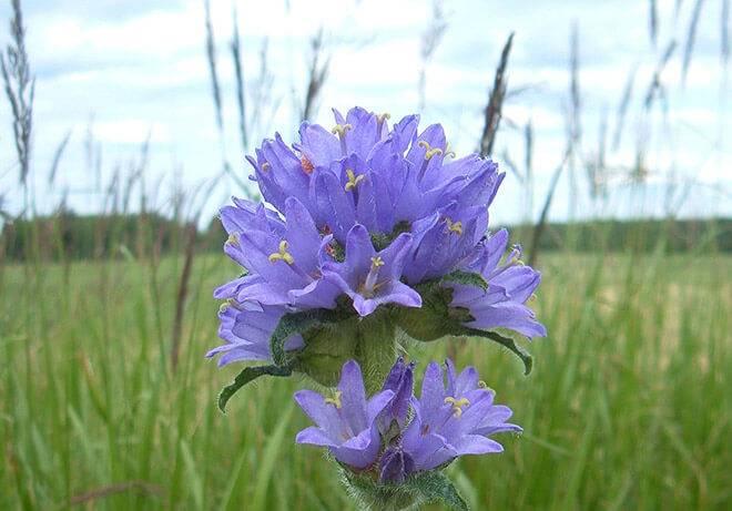 Колокольчик домашний цветок
