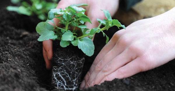 Вырастить петунию из семян в домашних условиях