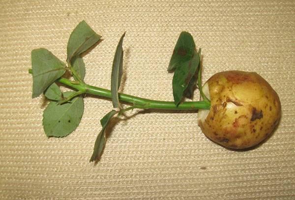 Проращивание черенков роз в картофеле
