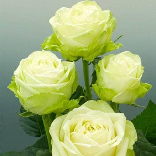 Бело зеленые розы