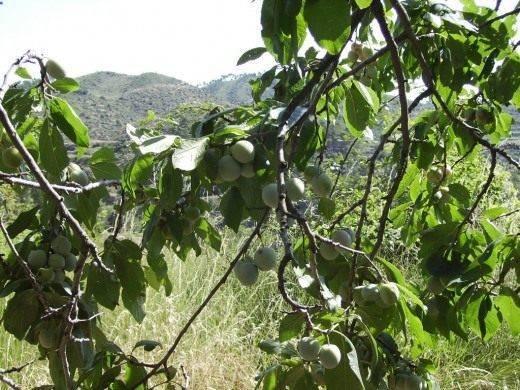 Слива уход и выращивание