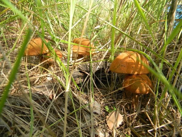 Как развести грибы на садовом участке